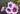 Weiß pinke und lila Malvenblueten mit gruenen Blaettern auf dunklem Hintergrund