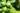 Naturaufnahme von drei LImetten am Strauch in Nahaufnahme