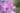 Naturaufnahme von rosa Malvenblueten und gruenem Hintergrund in Nahaufnahme
