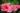 Nahaufnahme zweier pinker Hibiskusbluete an gruener Hibiskuspflanze in Nahaufnahme