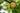 Ast eines Apfelbaums mit drei Aepfeln in Nahaufnahme