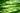 Zahlreiche frische Zitronengrashalme mit durchscheinendem Licht vor weißem Hintergrund