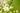 Ast eines Apfelbaums mit weiße Apfelblueten in der Natur in Nahaufnahme