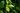 Naturaufnahme eines gruenen Teezweiges mit jungen gruenen Blaettern mit Regentropfen in Nahaufnahme