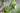 Naturaufnahme einer Jojobapflanze mit frischen gruenen Blaettern und Fruechten in Nahaufnahme