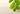 Nahaufnahme von einem duennen Moringa-Zweig mit ovalen hellgruenden Blaettern auf hellem Holzuntergrund