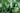 Naturaufnahme eines frischen Jojobastrauchs mit blass gruenen Blaettern in Nahaufnahme